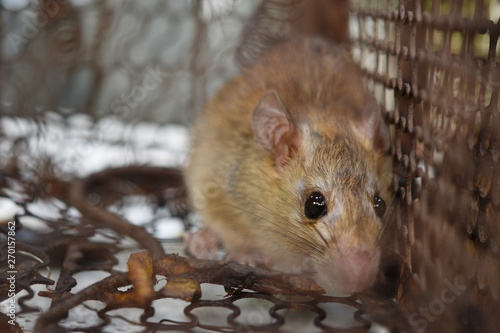 Closeup a rat in the rattrap  - Buy this stock photo and