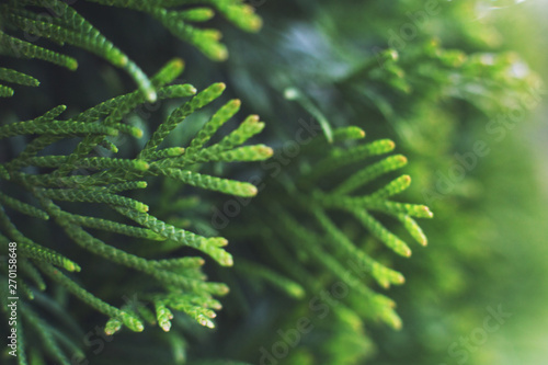 Foto a thuja close up. thuja branch background