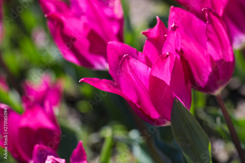 Foto auf Gartenposter Rosa Beautiful bouquet of tulips nature background.