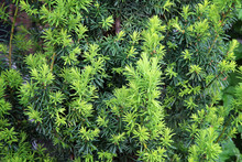 Yew Tree. Growing Branches With Young Green Needles.