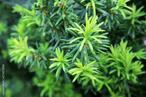mata magnetyczna Yew tree. Growing branches with young green needles.