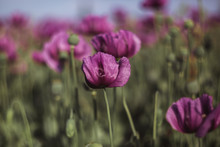 Lilac Poppy Flowers In Sunlight In Early Summer Close-up