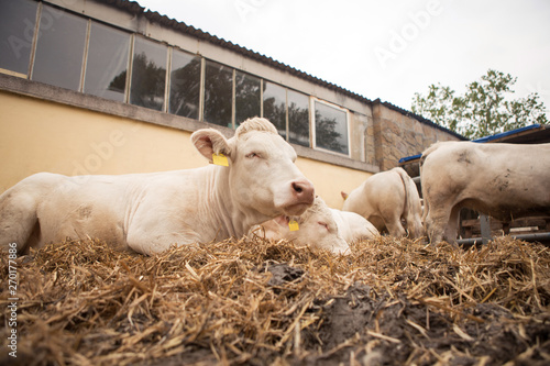Photo White cattle lies in the open part of the stables with other cattle