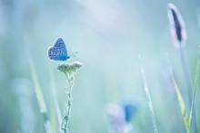 Little Blue Butterfly Bluehead On A Yarrow Flower In A Meadow. Artistic Tender Photo.