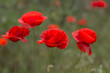 Flowers Red poppies bloom in the wild field. Beautiful field red poppies with selective focus, soft light. Natural Drugs - Opium Poppy. Glade of red wildflowers