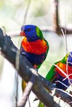Colorful Rainbow Lorikeet On A...