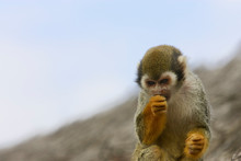 Close Up Of Squirrel Monkey Eating Against A Blue Sky