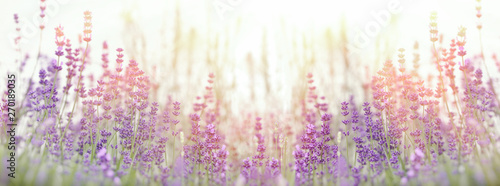 Lavender flower, selective focus on lavender flower in flower garden Canvas Print