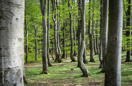 Fotografie, Obraz Beech forest