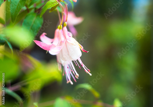 fuchsia magellanica flower, hummingbird fuchsia or hardy fuchsia, Hanging fuchsi Wallpaper Mural
