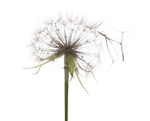 Dandelion Spores Blowing Isolated In White