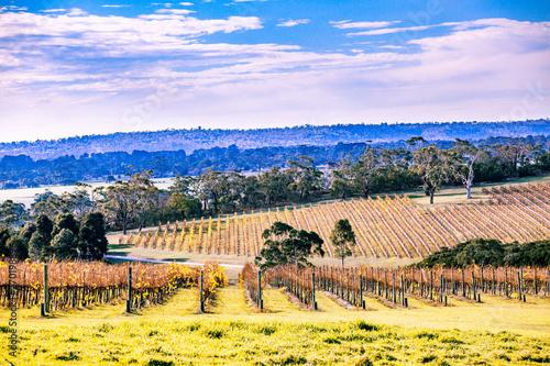 Fototapeta  Winery in autumn on Mornington Peninsula, Victoria, Australia
