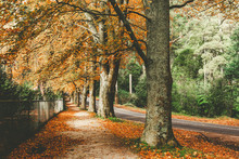 Fall In Dandenong Ranges, Vict...