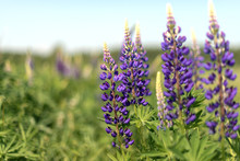 Lupins Blooming In The Field I...