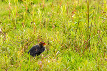 Alone Little Coot Chick In The Grass