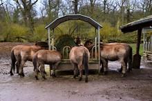 Mongolian Wild Horses Feeding In Animal Sanctuary