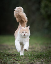 Front View Of A Cream Colored Beige White Maine Coon Kitten Running Towards Camera Outdoors Very Fast