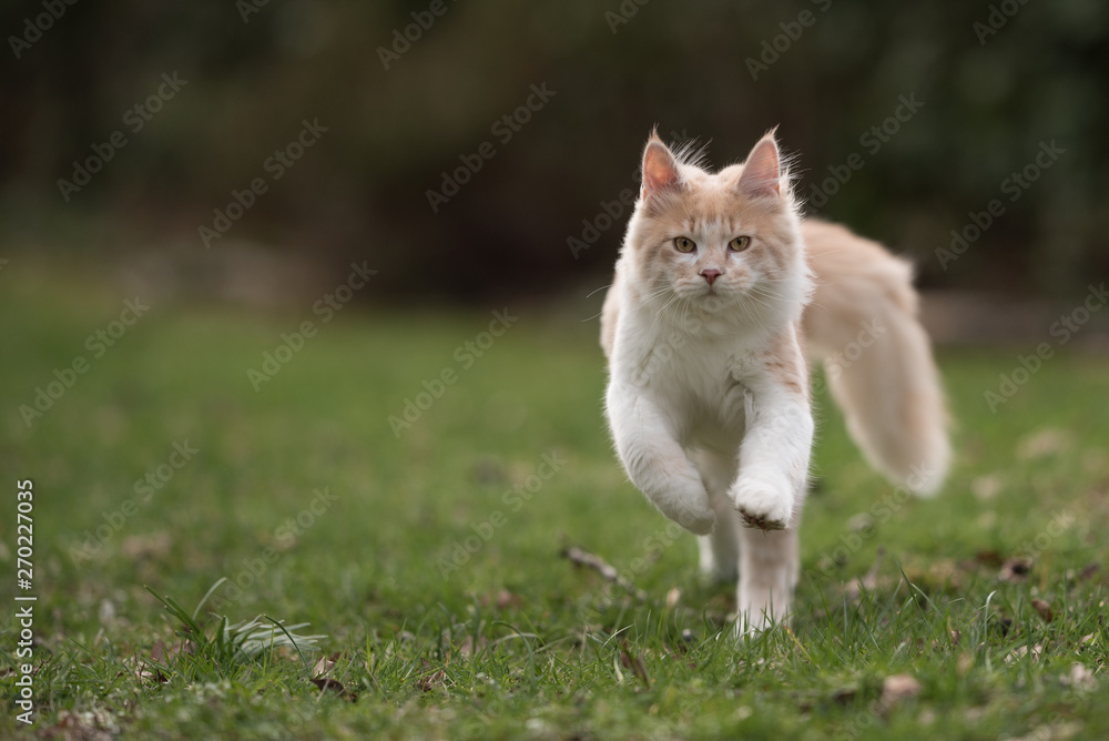 Fototapeta front view of cream colored beige white maine coon kitten with fluffy tail outdoors in the garden running towards camera looking at it