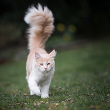 Cream Colored Beige White Maine Coon Kitten With Extremely Long Fluffy Tail Walking Towards Camera Looking At It Outdoors In The Garden