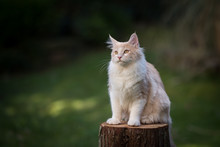 Cream Colored Beige White Maine Coon Kitten Sitting On A Tree Stump Outdoors In The Garden Looking To The Side