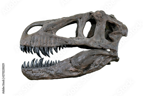 Fotografie, Obraz The skull of Torvosaurus large carnivore dinosaur from Jurassic Period - left pr