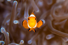 A Beautiful Clown Fish On The ...