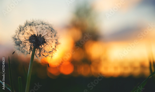 Poster Paardenbloem Close up of fluffy dandelion on a background of sunset sky