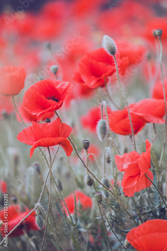 Garden Poster Pale violet the poppies field