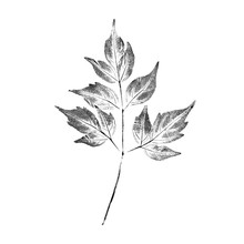 Black And White Ink Stamp Of A Leaf With Organic Texture. Isolated Detailed Realistic Leaf From Tree Or Plant.