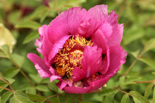 Beautiful Wild Pink Peony Growing Freely In A Garden