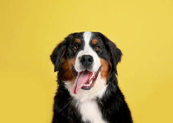 Fototapeta Pies Funny Bernese mountain dog on color background