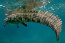 American Crocodile Underwater ...