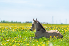 Young Thoroughbred Foal Restin...