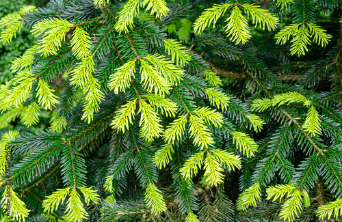 Close-up of beautiful bright young needles on dark green branches of coniferous tree fir Abies nordmanniana, Caucasian Fir or Christmas tree in natural day light Wallpaper Mural