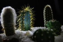 Cactus In Garden At Night