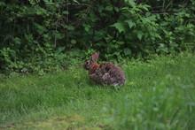 Eastern Cottontail (Sylvilagus Floridanus) Rabbit In The Wild