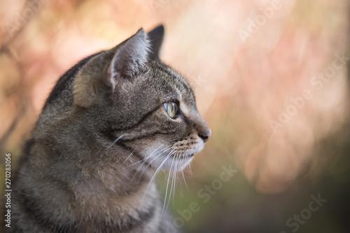 Fototapeta tabby domestic shorthair cat profile side view outdoors