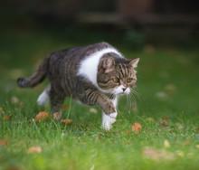 Tabby White British Shorthair Cat Sneaking Through The Back Yard