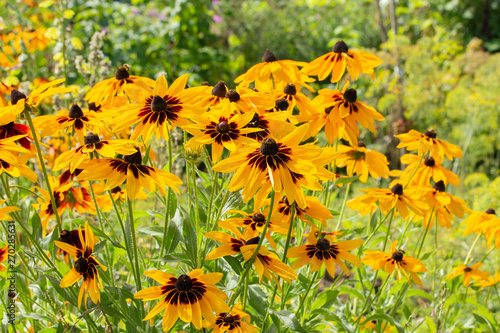 Obraz na plátne Rudbeckia hirta two-tone flowers yellow brown black black-eyed Susan