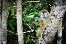 The Common Squirrel Monkey Is ...