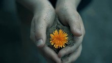 Dirty Child Little Hands Holding Small Dainty Red Dandelion Flower In Soil. Plant Grows Up Out Of Sand Close Up. Life And Environmental Protection. Top View. Cold Tone. The Concept Of War And Peace.