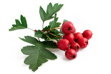 Hawthorn Red Berries With Leaf...