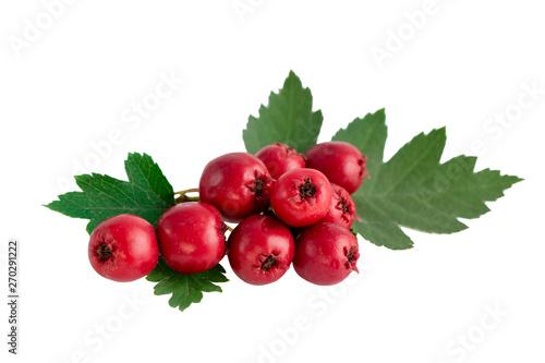 Fototapeta Hawthorn or common hawthorn or Crataegus monogyna berries  isolated on white bac