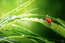Ladybug On Grass In Summer In The Field Close-up