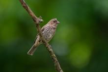 Female House Finch (Haemorhous...