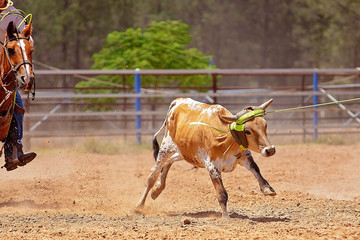 Calf Roping Competition At An Australian Rodeo