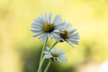 Bellis Perennis - Closeup Of Yellow And White Flowers On A Colorful And Vibrant Background