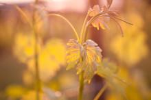 Grapevine At Sunset