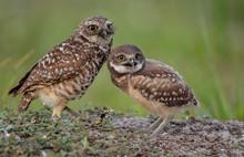 Pair Of Burrowing Owls In Flor...