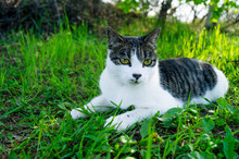 Striped Cat Lies In The Green Grass On The Street